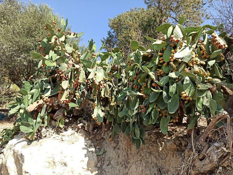Съедобные плоды кактусов на Кипре