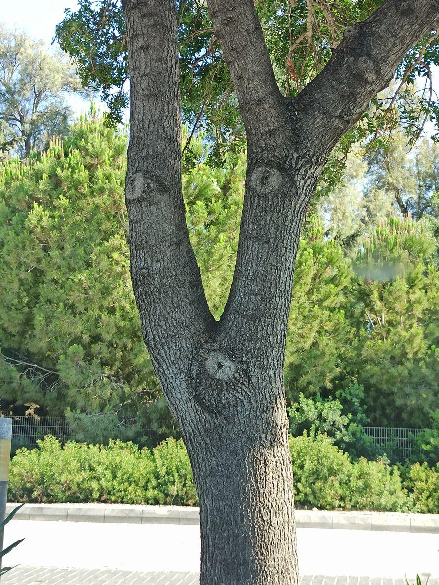 дерево с человеческим лицом